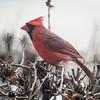 Northern Cardinal - Male, Naperville, Illinois