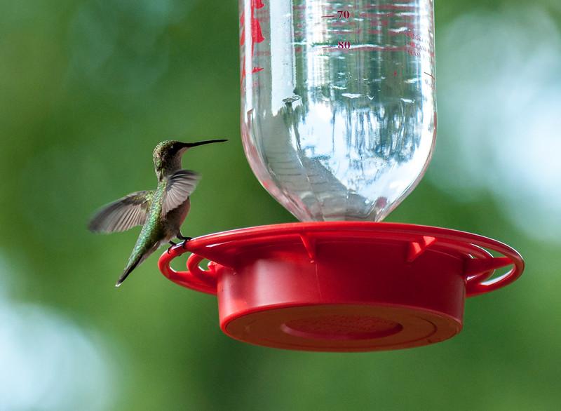 Ruby-Throated Hummingbird, Brimfield, Illinois