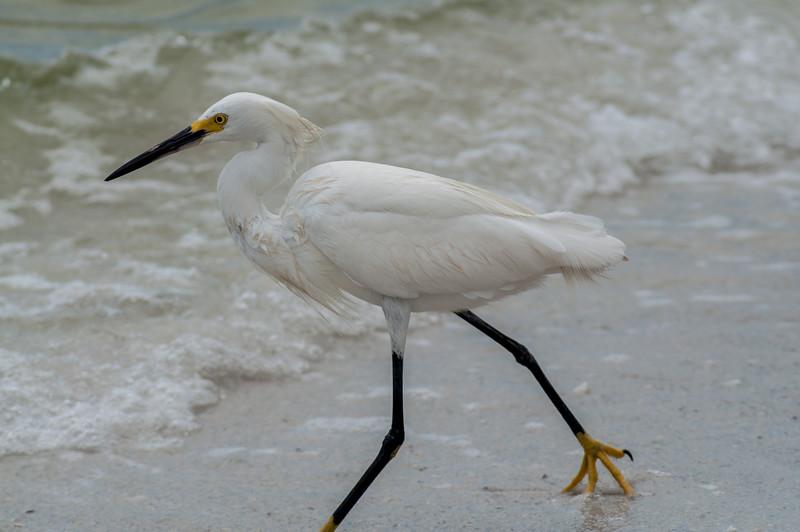 Snowy Egret, Fort Myers, Florida