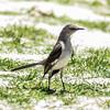 Northern Mockingbird, Juvenile, Fort Myers, Florida