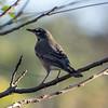 American Robin, Springbrook Prairie Forest Preserve, Naperville, Illinois