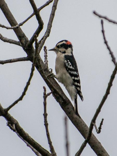 Downy Woodpecker, Springbrook Prairie Forest Preserve, Naperville, Illinois