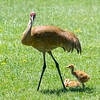 Sandhill Crane and Colts