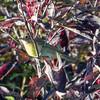 Yellow-bellied Flycatcher??, Springbrook Praire Forest Preserve, Naperville, Illinois.