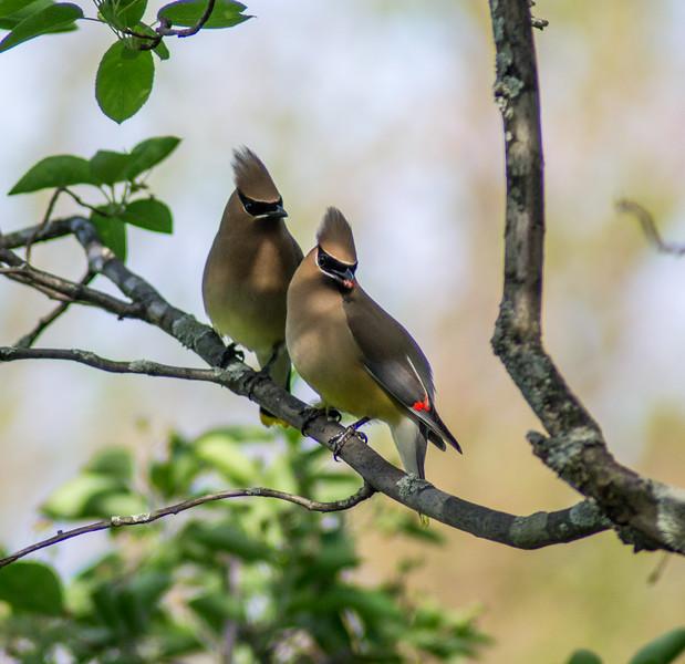 Cedar Waxwing, Springbrook Prairie Forest Preserve, Naperville, Illinois