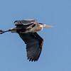 Great Blue Heron, Lockport, Illinois, 02/28/15.
