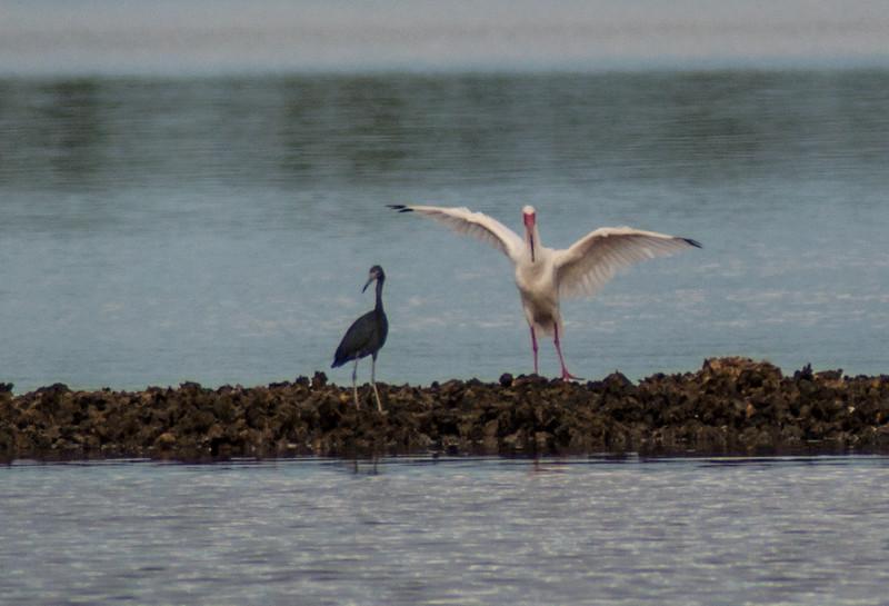 Little Blue Heron and White Ibis, Sanibel Island, Florida