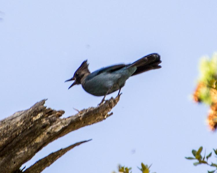 Steller's Jay, San Bernardino Mountains, California, 08/15/14.