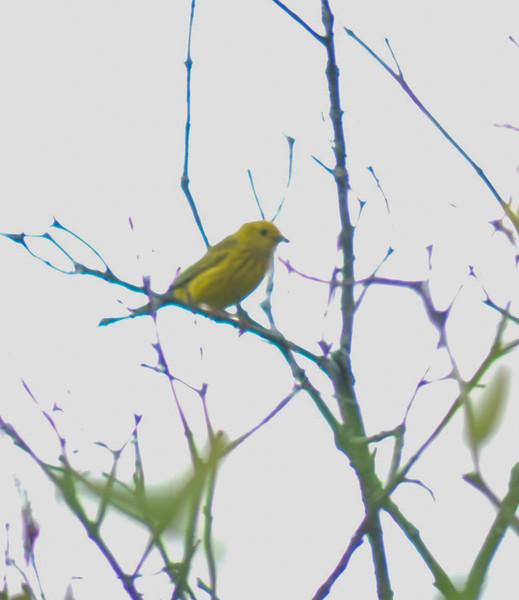 Yellow Warbler, Springbrook Prairie Forest Preserve, Naperville, Illinois