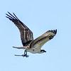 Osprey, Male, Fort Myers, Florida.