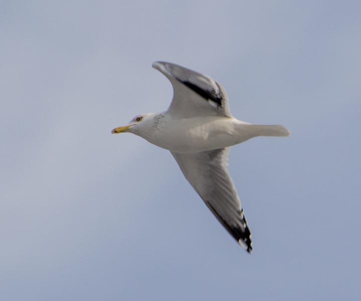Herring Gull, Lockport, Illinois, 02/28/15.