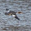 Common Merganser, Female, Lockport, Illinois, 03/01/15.