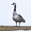 Canada Goose, Naperville, Illinois, 2/15/2015