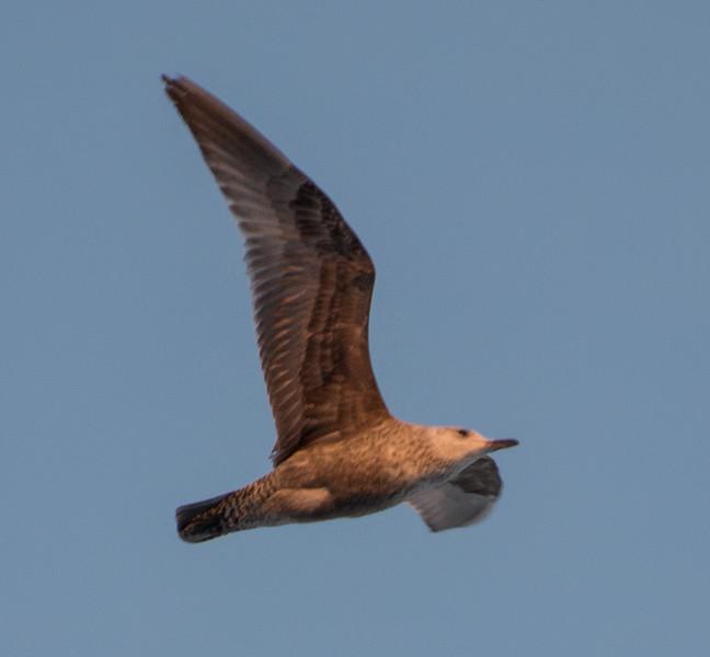 Herring Gull, First Winter, Lockport, Illinois, 03/01/15.