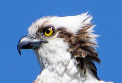 Osprey, Fort Myers, Florida, 02/20/15.