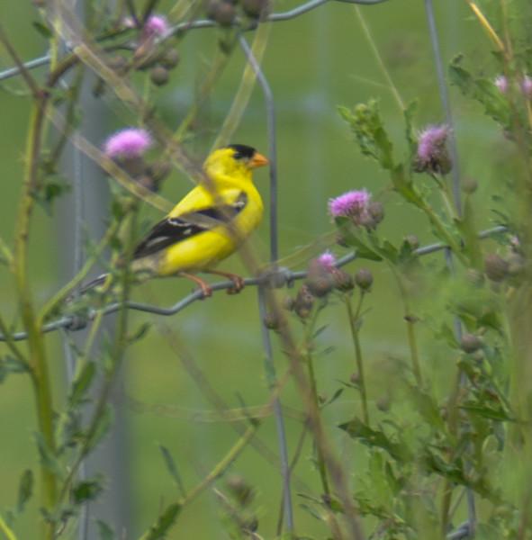 American Goldfinch, Springbrook Prairie Forest Preserve, Naperville, Illinois