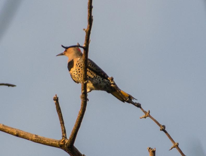 Northern Flicker, Springbrook Prairie Forest Preserve, Naperville, Illinois