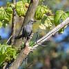 Gray Catbird, Springbrook Praire Forest Preserve, Naperville, Illinois.