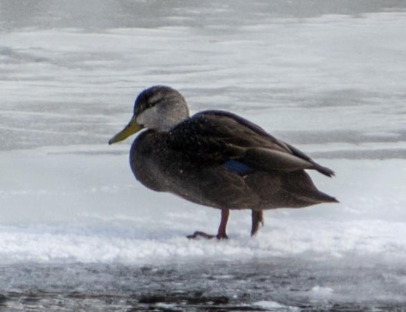 American Black Duck, Lockport, Illinois, 02/28/15.