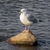 Herring Gull, Lockport, Illinois, 03/01/15.
