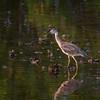 Yellow-Crowned Night-Heron, Juvenile, Sanibel Island, Florida
