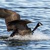 Canada Goose, Lockport, Illinois, 02/28/15.