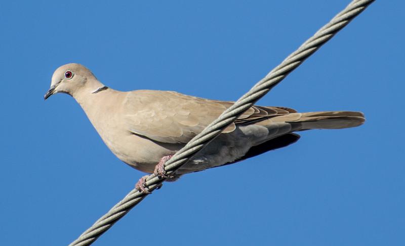 Eurasian Collared-Dove, Fort Myers, Florida, 2/19/15