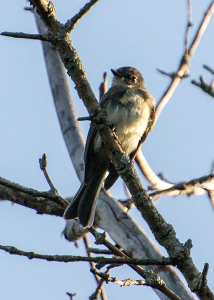 Eastern Phoebe, Springbrook Praire Forest Preserve, Naperville, Illinois.