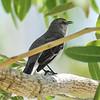Northern Mockingbird, Fort Myers, Florida