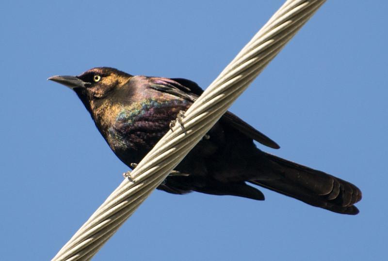Rusty Blackbird, Fort Myers, Florida, 02/19/15