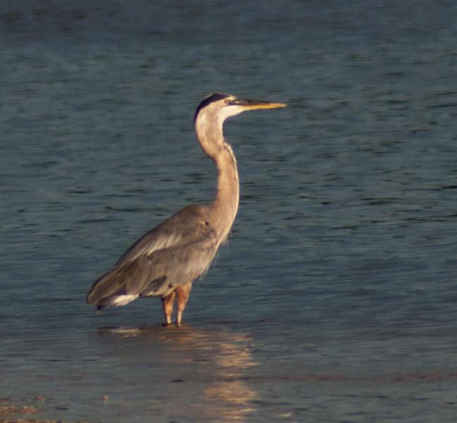 Great Blue Heron, Sanibel Island, Florida