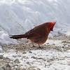 Northern Cardinal, Male, Lockport, Illinois, 02/28/15.