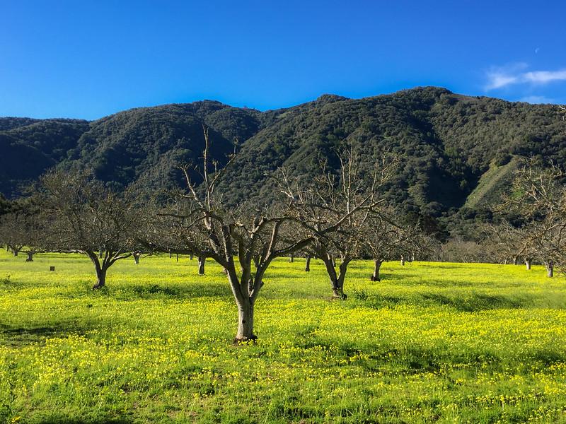 Mustard fields in the Carmel Valley, California