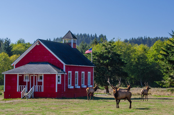A herd of Roosevelt Elk by the Little Red Schoolhouse near Orick, CA