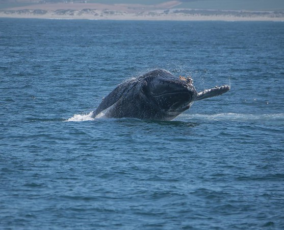 Humpback whale watching in Monterey Bay, California
