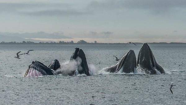 Humpback whales lunge feeding - Monterey Bay, California