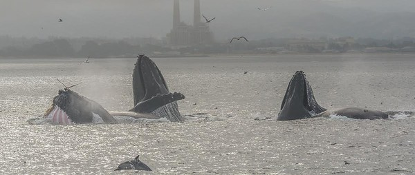 Humpback whales lunge feeding - Monterey Bay, California