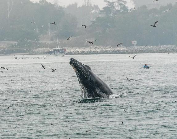 A humpback whale breaching | Whale Watching Monterey Bay, California