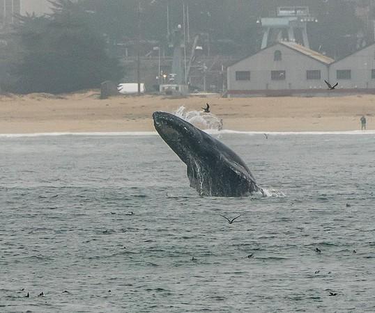A whale breaching | Humpback whale watching tour - Monterey Bay, California