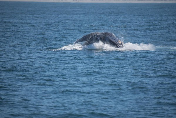 Humpback whale breaching - Monterey Bay, California