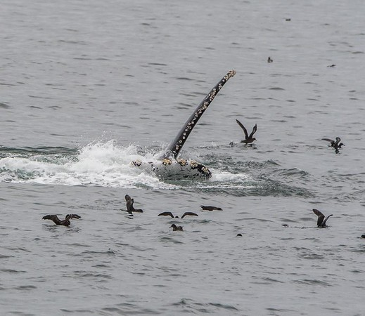 Pec slapping behavior | Humpback whale watching in the Monterey Bay, California
