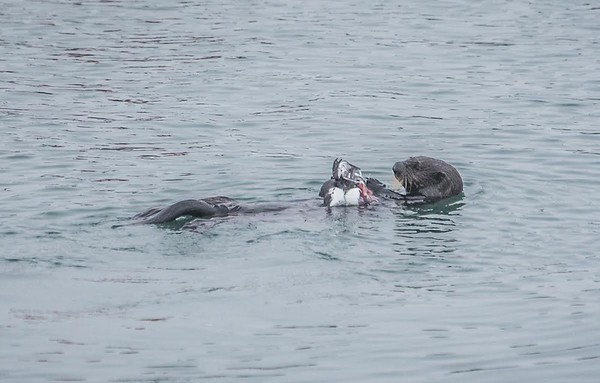 A sea otter with a common murre | Monterey Bay, California