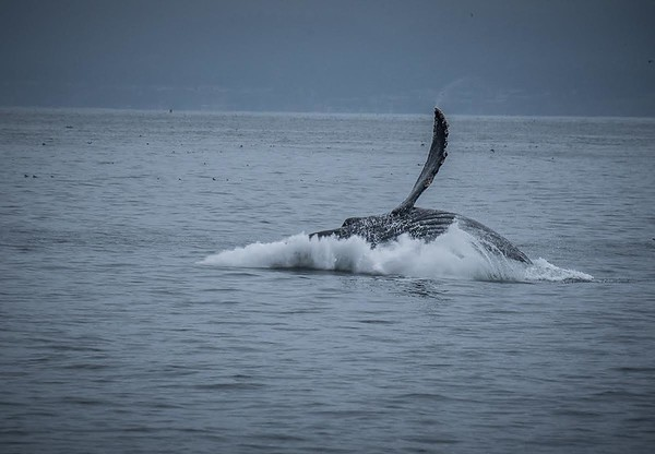 A humpback whale breaching | Whale Watching, Monterey Bay, California