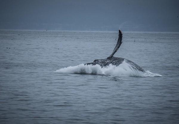 A humpback whale breaching | Whale Watching, Monterey Bay, California