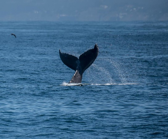Tail throwing behavior | Humpback whale watching in the Monterey Bay