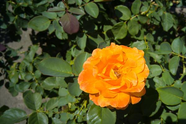 Capitol Park & The Rose Garden   A Day in Sacramento