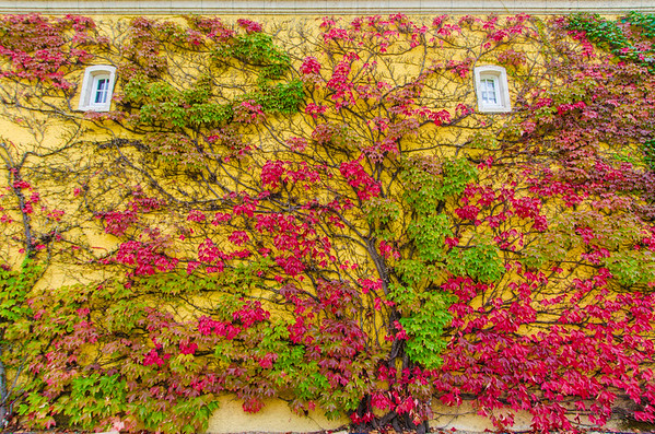 A vibrant fall wall at Jordan Winery | Fall colors in Sonoma County