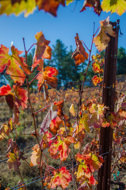 Fall colors in Sonoma Wine Country