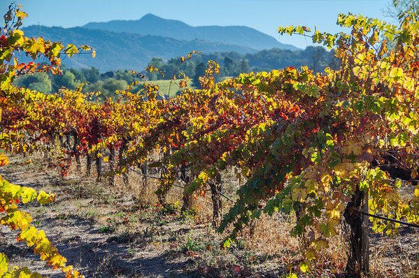 Vibrant vineyards along Dry Creek Road | Fall colors in Sonoma Wine Country