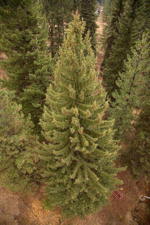 Cutting the Tree - Little Ski Hill, Nov. 1-2